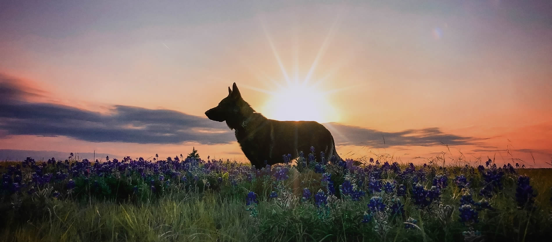 dog in field at sunrise - in home Euthanasia